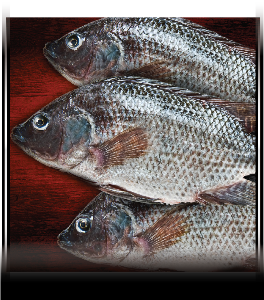 Whole GS Tilapia